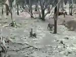 Un perro hace frente a una leona hambrienta en un Parque Nacional de la India.