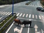 Dos toros sueltos, en medio de una avenida en la ciudad china de Yantou, protagonizan una insólita pelea.